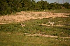 Buck Antelope Doe Running negro foto de archivo