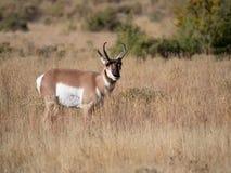 Buck Antelope Facing de Camera stock fotografie