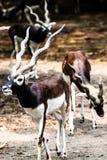 Buck Antelope nero indiano fotografie stock libere da diritti