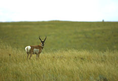 Buck Antelope on Prairie Stock Photography