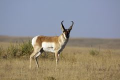 Buck Antelope on Prairie Royalty Free Stock Images