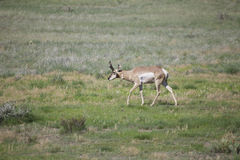 Buck Antelope on Prairie stock photos