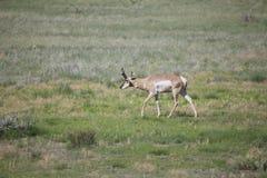 Buck Antelope on Prairie Stock Photos