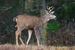 Buck with Antlers Royalty Free Stock Photography