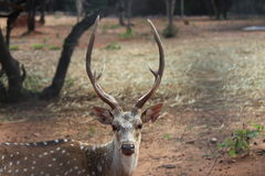 Buck with beautiful & strong horns Royalty Free Stock Photos