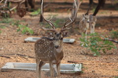 Buck with beautiful & strong horns Stock Image