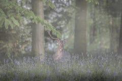 Buck in bluebells Stock Photo