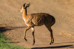 Buck Calf Wildlife Fotografia de Stock Royalty Free