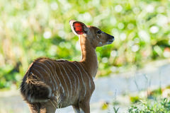 Buck Calf Wildlife Royaltyfri Fotografi