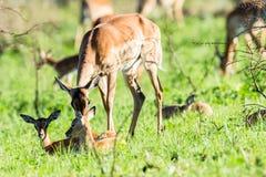 Buck Calf Wildlife Foto de archivo