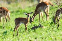 Buck Calf Wildlife Imágenes de archivo libres de regalías