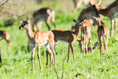 Buck Calf Wildlife royalty free stock photography