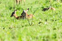 Buck Calfs Wildlife Fotografía de archivo