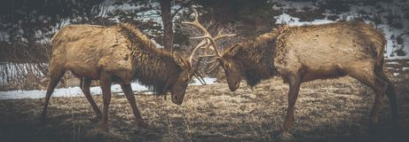 Buck challenging each other for. Female buck around them royalty free stock photo