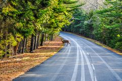 A Deer Crossing the Road in Arcadia National Park stock image