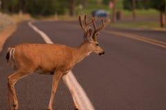 Buck Crossing el camino foto de archivo libre de regalías