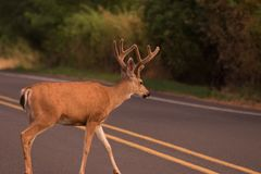 Buck Crossing the Road stock image
