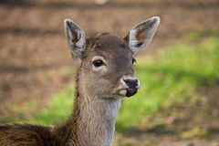 Buck deer Royalty Free Stock Photos