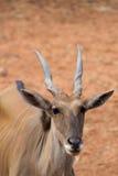 Buck Deer Stockbilder