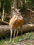 Buck deer. Whitetail buck Royalty Free Stock Image