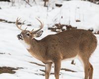 Buck deer alerting call to the herd. Buck deer lowering his head in threatening manner in Saint Louis County, Missouri near Jefferson Barracks National Cemetery stock images