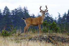 Buck Deer With Antlers. A buck black-tailed deer with a full rack of antlers standing on a hill stock photography
