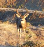 Buck Deer avec de pleins andouillers chez Marin Headlands photo stock