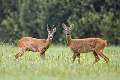 Buck deer in the clearing Stock Image
