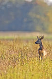 Buck deer in the clearing Royalty Free Stock Images