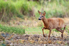 Buck deer in a clearing Royalty Free Stock Photo