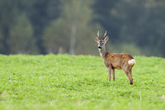 Buck deer in a clearing Royalty Free Stock Image