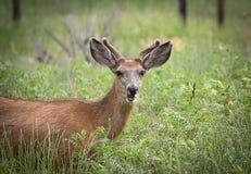 Buck Deer divertido Fotos de archivo