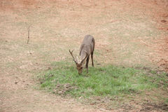 Buck deer eating on the grass. Stock Photography