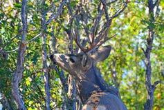 A Buck Deer Eating a Meal of Scrub Oak stock photos