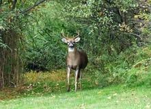 Buck Deer en el bosque que mira fijamente a continuación foto de archivo libre de regalías