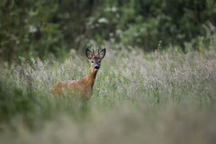 Buck deer in the forest Royalty Free Stock Image