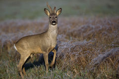 Buck deer in a frosty morning Stock Images