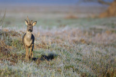 Buck deer in a frosty morning Royalty Free Stock Image