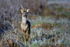 Buck deer in a frosty morning Stock Photography