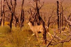 Buck deer Stock Image