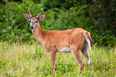 Buck Deer In Grassy Field Royalty Free Stock Photos