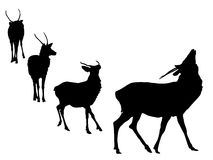 Buck deer grunting Stock Images