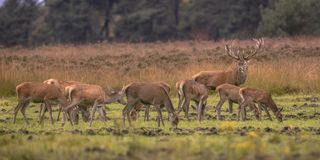 Buck deer guarding hinds. Buck deer male (Cervus elaphus) guarding herd group of female hind animals during mating season at sunset royalty free stock photography