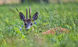Buck deer hidden in the grass Stock Photo