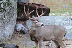 Buck Deer mit den Trophäen-Geweihen Lizenzfreie Stockfotos