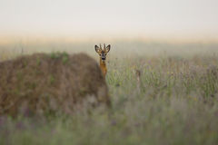 Buck deer in the morning mist. In the wild Royalty Free Stock Photos