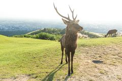 Buck deer in mount Royalty Free Stock Images