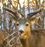 Buck Deer with Odd Antlers Licks His Chops after a Meal. A deer with very odd antlers licks his mouth after eating Stock Photo