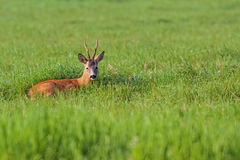 Buck deer resting in a clearing. In the wild stock photography