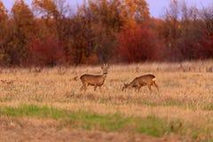 Buck deer with roe-deer stock images